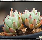 원종자라고사 군생(묵은둥이,자연,목대짱)|Echeveria mexensis Zaragosa