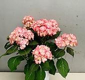 미스사오리수국 대품 / 동일품배송 Hydrangea macrophylla