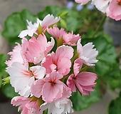 마담티보ㅡ제라늄|Geranium/Pelargonium