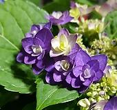 히미코수국 블루 특대품 Hydrangea macrophylla