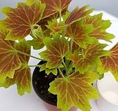 벤쿠버 제라늄|Geranium/Pelargonium