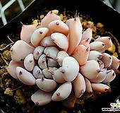 흑자라고사|Echeveria mexensis Zaragosa
