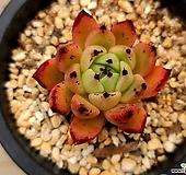 매발자라고사|Echeveria mexensis Zaragosa