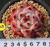 220 원종콜로라타 Echeveria colorata