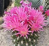 예쁜꽃피는 네오포르테리아 선인장 65|