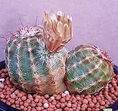 클로란투스선인장  예쁜쌍두입니다  꽃많이피고예뻐요  369|