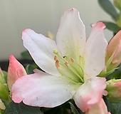 모나리자 철쭉 Echeveria Monalija