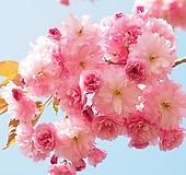 유럽풍 겹벚꽃나무 스탠다드 분달이 대품 특대품♥왜성 외목수형♥겹벚나무 겹벚 겹벗 벚꽃 벗꽃 벚나무 벗나무|