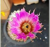 (앞꽃필)레이스(race cactus) 여광환 실생 |