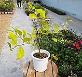 오렌지레몬나무(대품)|
