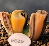 현무옥선호반금 4234|Haworthia truncata