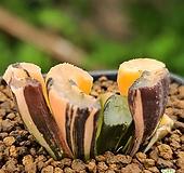미문옥선호반금 |Haworthia truncata