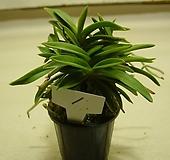 옥금강1번-단엽소엽풍란의 귀품-동일품배송|