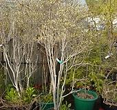 단풍철쭉정원수2번-개화주 꽃 엄청옴-동일품배송 