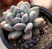 환엽후레뉴 군생 3-4941|Pachyphytum cv Frevel
