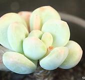 후레뉴 (SP0649)|Pachyphytum cv Frevel