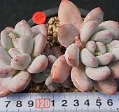 556 후레뉴|Pachyphytum cv Frevel