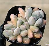 후레뉴 5-165|Pachyphytum cv Frevel