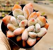 후레뉴 5-260|Pachyphytum cv Frevel