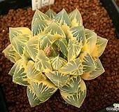 옵튜사 호반금(ob-5)|Haworthia cymbiformis var. obtusa