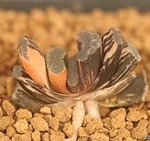 옥선금 산반홍금 자구|Haworthia truncata variegated
