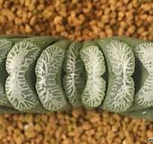 옥선 백설 |Haworthia truncata