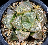 이반야(중대묘) 98-34|Haworthia cv. Urahanya