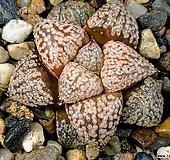 실생픽타 98-35|Haworthia picta