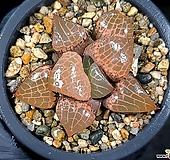 수정콤프토니아 99-22|Haworthia comptonia
