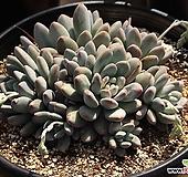 후레뉴 자연군생 특대품 |Pachyphytum cv Frevel