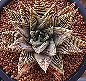 화이트스파이더|Haworthia attenuata