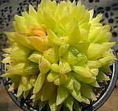 경화금0407|Haworthia cymbiformis f. variegata