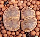 브롬필드 리톱스 수입들어온묵둥이쌍두입니다  좋은품종하나품어보셔요 479|Lithops