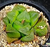 콤프토니아92|Haworthia comptonia