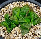 콤프토니아3|Haworthia comptonia