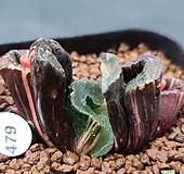 대형종)거봉옥선금  479|Haworthia truncata variegated