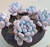 후레뉴(일본)|Pachyphytum cv Frevel