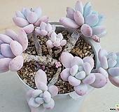 후레뉴 자연(4번째 사진...줄기 약간 마름으로 저렴히)|Pachyphytum cv Frevel