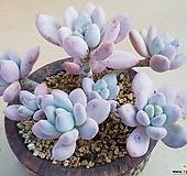 후레뉴 자연|Pachyphytum cv Frevel