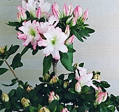 철쭉꽃 공기정화 동일배송 