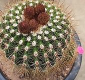홍채옥선인장04087|Haworthia truncata