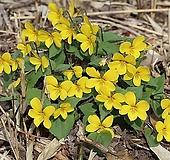 토종 노랑제비꽃 