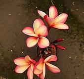 [진아플라워] 사랑둥이 하와이안 러브하와이 외목 플루메리아 390|
