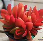 불타는사과불꽃축제|Crassula Americana cv.Flame