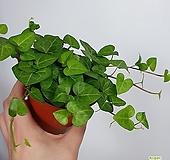 하트아이비 아이비 공기정화식물  한빛농원|