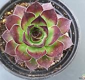 스트로베리필즈 바위솔-291 Echeveria Strawberry
