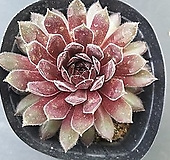 클라라노이드 바위솔-291 Echeveria clara