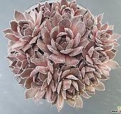 홍학 바위솔-291 Echeveria Beninoturu(JAPAN hyb)