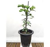 레몬나무(포트) 원룸식물 농장직영 포트 초보자식물|