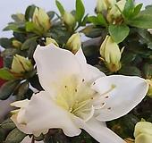 철쭉 화이트스타 연산홍 
